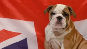 English Bulldog puppy. Sitting in front of british flag stock video