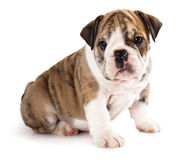 English bulldog puppy Stock Images