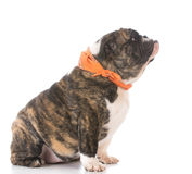 English bulldog puppy Stock Images