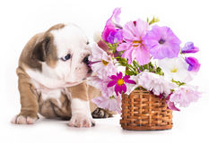 English Bulldog puppy and flowers Stock Photography