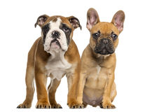 English Bulldog puppy and French Bulldog puppies Royalty Free Stock Images
