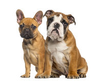 English Bulldog puppy and French Bulldog puppies, sitting Stock Photo