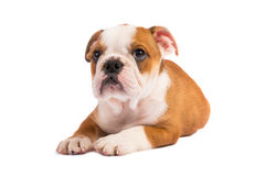English bulldog puppy in front of white background Stock Images