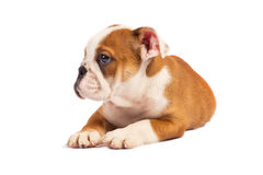 English bulldog puppy in front of white background Stock Photography