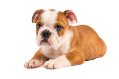 English bulldog puppy in front of white background Stock Photos