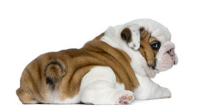 English bulldog puppy in front of white background Royalty Free Stock Photos
