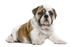 English bulldog puppy in front of white background royalty free stock photography