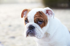English Bulldog Puppy In Frosty Landscape Royalty Free Stock Image