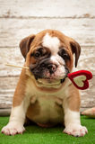 English bulldog puppy with a heart in his mouth. royalty free stock photo