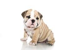 English bulldog puppy isolated Royalty Free Stock Image