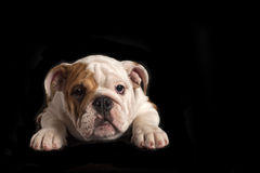 English bulldog puppy . Royalty Free Stock Photography
