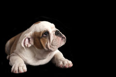 English bulldog puppy . Stock Photos