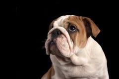 English bulldog puppy . Stock Images