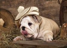 English bulldog puppy Royalty Free Stock Photo