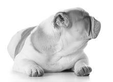 English bulldog puppy Stock Photos