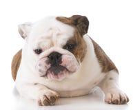 English bulldog puppy Royalty Free Stock Photography