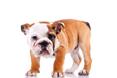 English bulldog puppy  looking at the camera Stock Image