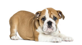 English Bulldog Puppy lying and facing, 2 months old Stock Photography