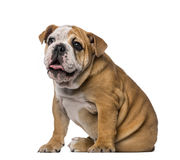 English Bulldog puppy (4 months old) Stock Photo