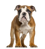 English Bulldog puppy, 3,5 months old, standing Stock Photography