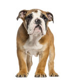 English Bulldog puppy, 3,5 months old, standing, isolated Stock Photo