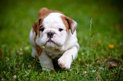 English bulldog puppy outdoors Royalty Free Stock Photography