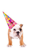 English bulldog puppy with a party hat Stock Photography