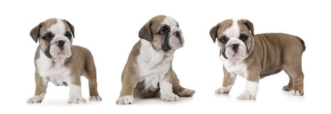 English Bulldog puppy. Photo collage of English Bulldog puppy six weeks old isolated on white background Royalty Free Stock Photo
