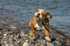 English Bulldog Puppy Playing On The Beach Stock Image