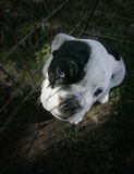 English Bulldog Puppy Portrait. A beautiful outdoor portrait of an English Bulldog puppy taking from above royalty free stock photos