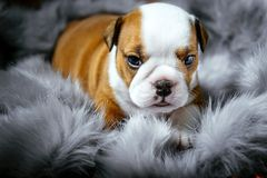 English bulldog puppy Royalty Free Stock Image