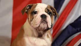 English Bulldog puppy. Sitting in front of british flag stock video footage