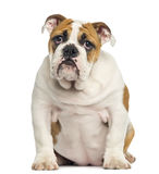 English Bulldog puppy sitting, looking desperate Stock Photos