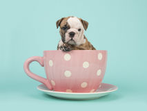English bulldog puppy sitting in a pink and white dotted cup and saucer on a turquoise blue background Royalty Free Stock Images
