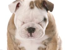 English bulldog puppy squinting. Isolated on white background Stock Photography