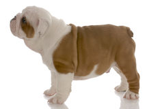 English bulldog puppy standing Royalty Free Stock Photography