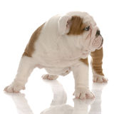 English bulldog puppy standing Stock Photo