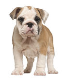 English Bulldog puppy, standing, 2 months old royalty free stock images