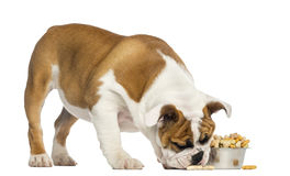English Bulldog puppy standing, eating from a bowl full stock image