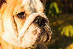 English bulldog puppy. Stock Images