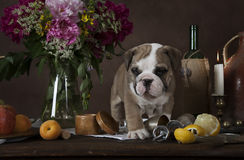 English Bulldog puppy on the table with flowers Stock Photos