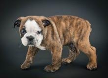 English Bulldog Puppy Royalty Free Stock Images