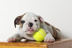 English Bulldog Puppy with Tongue Out Stock Image