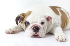 English Bulldog Puppy with Tongue Out Stock Photography