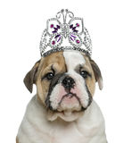 English bulldog puppy wearing a diadem in front of white backgro Stock Image