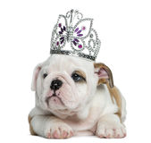 English bulldog puppy wearing a diadem Stock Image