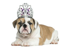 English bulldog puppy wearing a diadem Stock Images