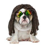 English bulldog puppy wearing a dreadlocks wig and glasses Royalty Free Stock Images