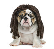 English bulldog puppy wearing a dreadlocks wig and glasses. English bulldog puppy sitting and wearing a dreadlocks wig and glasses in front of white background Royalty Free Stock Photos