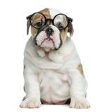 English bulldog puppy wearing glasses Royalty Free Stock Photography